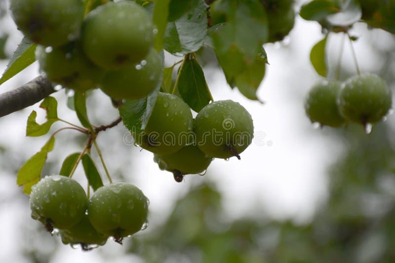 Neue Äpfel stockbilder