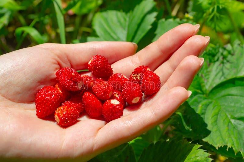 Neue Erdbeerfragaria in der Frauenhand Gro?e Details! lizenzfreie stockfotografie