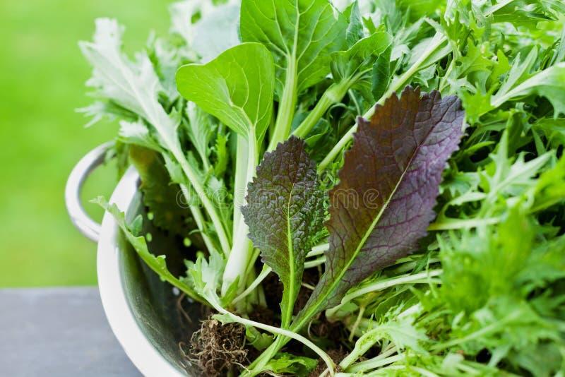Neue Ernte des frischen organischen Mischungssalats verlässt mit mizuna, Kopfsalat-, pakchoi-, tatsoi-, Kohl-, Spinats- und Blatt stockbild