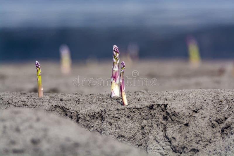 Neue Erntezeit auf Spargeldem gem?sefeld-, wei?em und Purpurrotemspargel, der auf Bauernhof aufgedeckt w?chst lizenzfreie stockfotografie