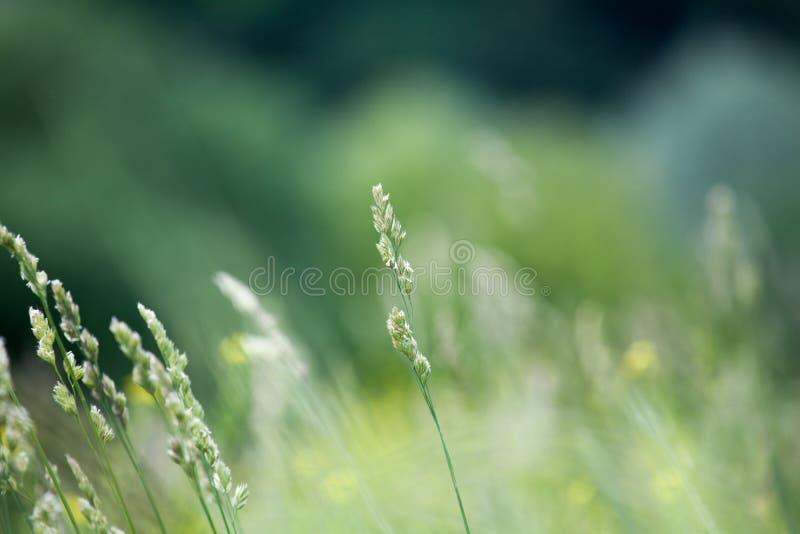 Neue grüne Rasenfläche auf unscharfem bokeh Hintergrund nah oben, Ohren auf Wiesenweichzeichnungsmakro, schöner Sonnenlichtsommer stockbild