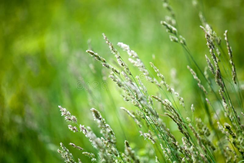 Neue grüne Rasenfläche auf unscharfem bokeh Hintergrund nah oben, Ohren auf Wiesenweichzeichnungsmakro, schöner Sonnenlichtsommer lizenzfreies stockfoto