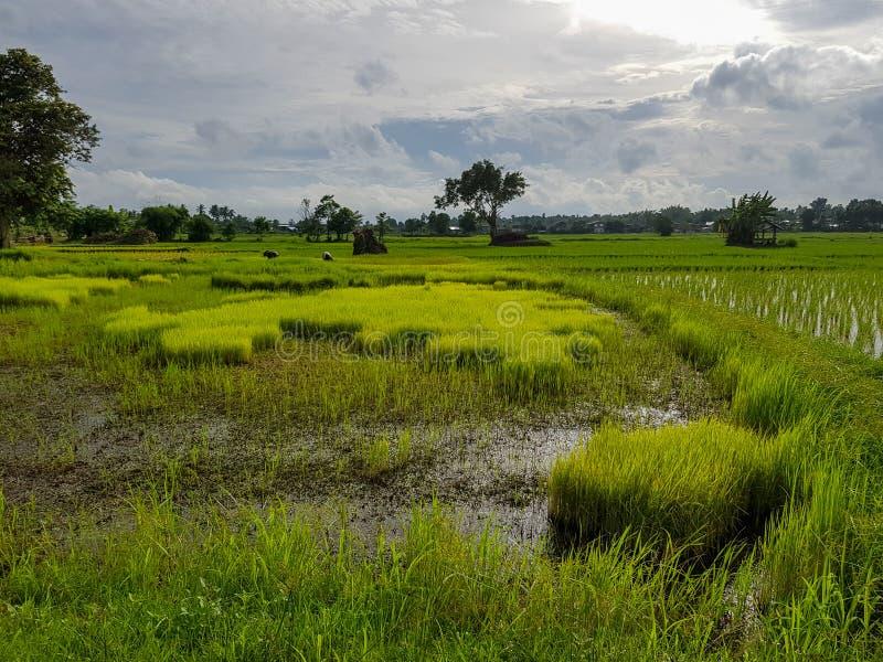 Neue ruhige Abendszene von den Landwirten, die im hellgrünen Reissprösslingsreisfeld mit Bäumen, Wasserreflexion, Dorf arbeiten stockbild