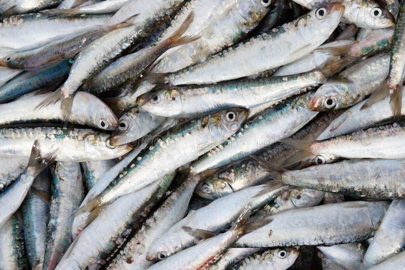 Neue sardins innen lizenzfreies stockbild