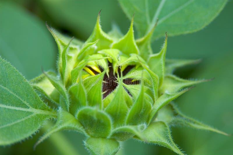 Neue Sonnenblume lizenzfreie stockfotos
