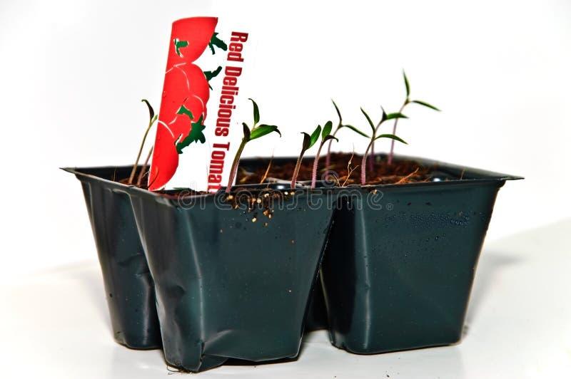 Neue Tomatenpflanzen stockbilder