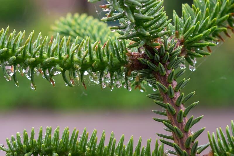 Neue Triebe der spanischen Tanne ( Abies pinsapo) wenn die Regentropfen an den weichen Nadeln hängen lizenzfreie stockbilder