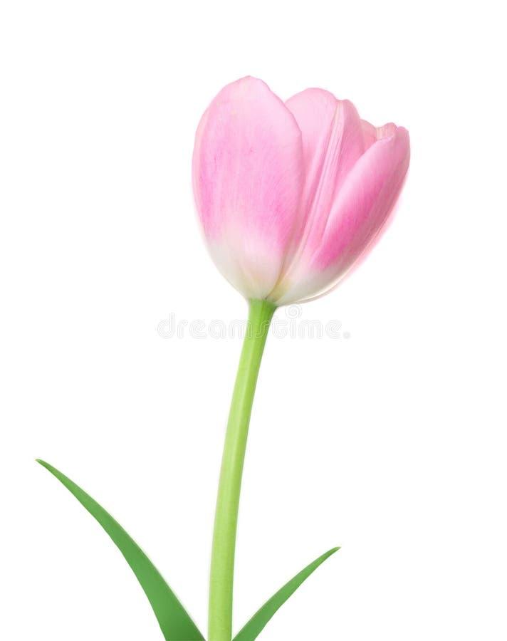 Neuer Frühling Tulip Flower Rosa Tulpe mit dem Blatt lokalisiert auf einem weißen Hintergrund lizenzfreie stockfotos