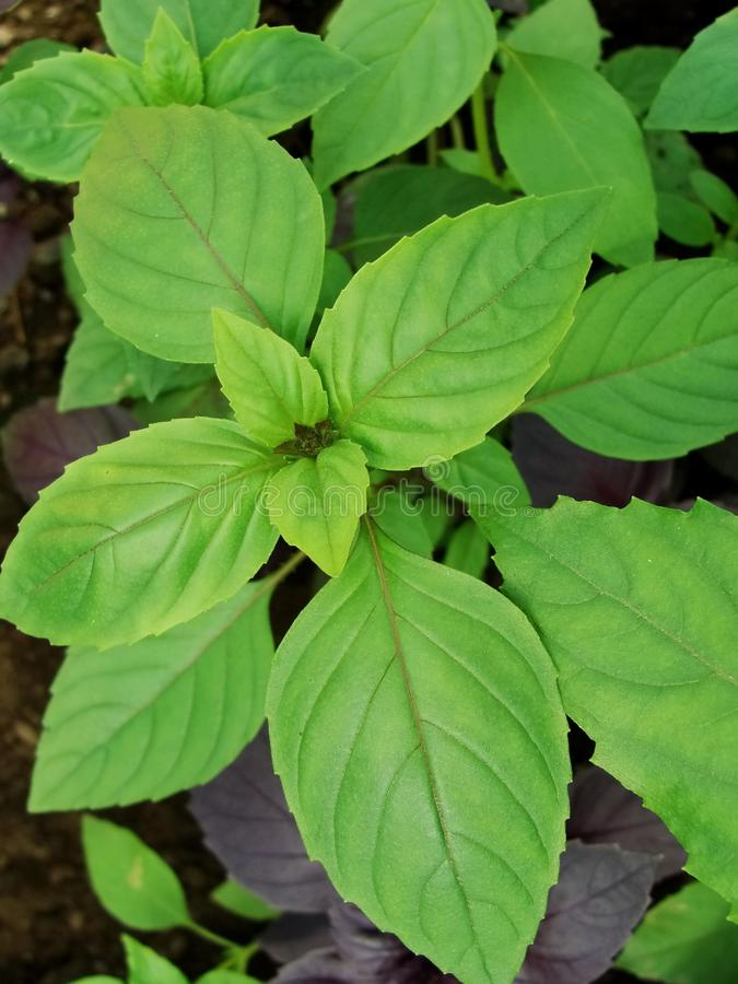 Neuer grüner Basilikumkrauthintergrund, Draufsicht Basilikumanlage, die in einem Garten wächst Basilikumanlage - Beschaffenheit v stockfotografie