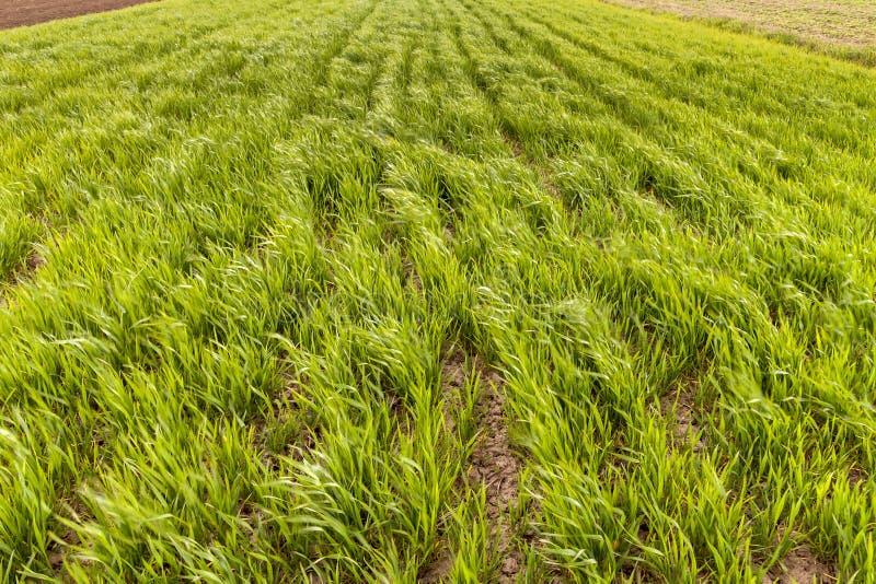 Neuer Hintergrund des Nahaufnahmegrüns von den Weizen- oder Maissprösslingen, die auf dem Gebiet am hellen sonnigen Sommer- oder  lizenzfreie stockfotografie