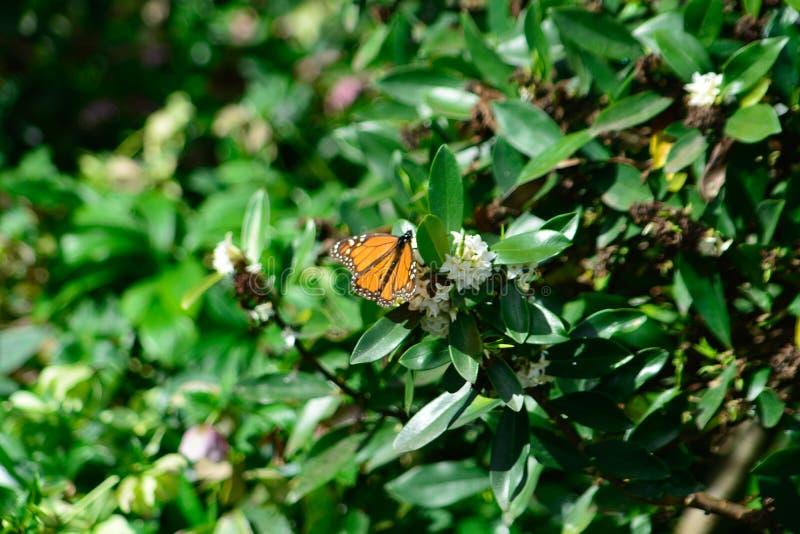 Neuer Jahreszeitschmetterling ` s Monarch, der mich Fotos machen lässt lizenzfreies stockbild