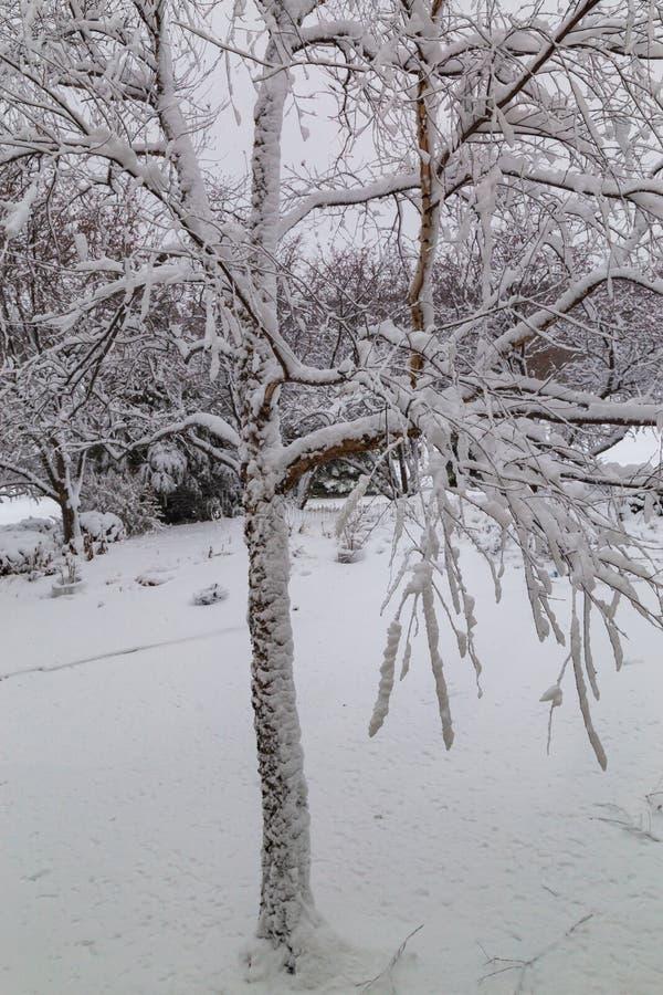 Neuer Schneebeschichtungsbaumstamm und -niederlassungen stockbild