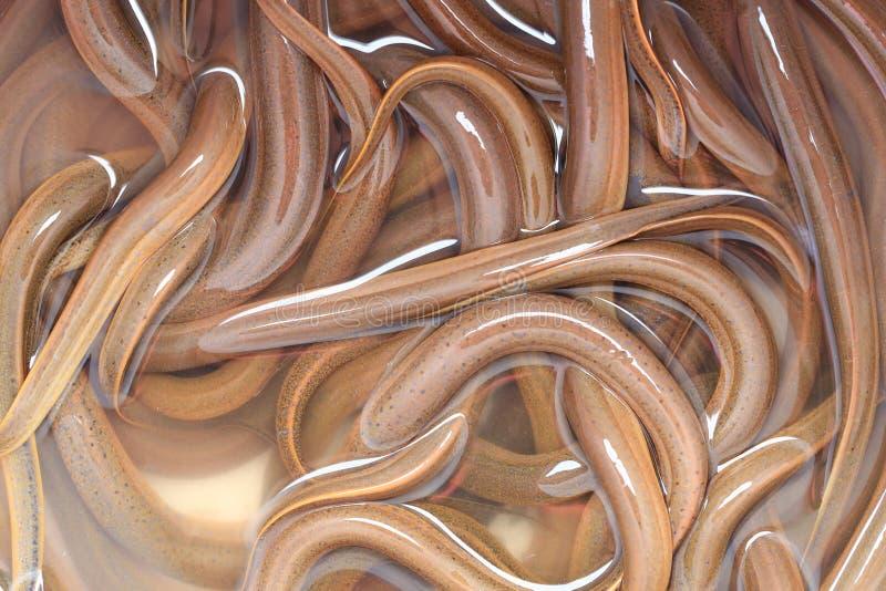Neuer Synbranchidae-Fisch- oder Aalfischhintergrund lizenzfreie stockfotos