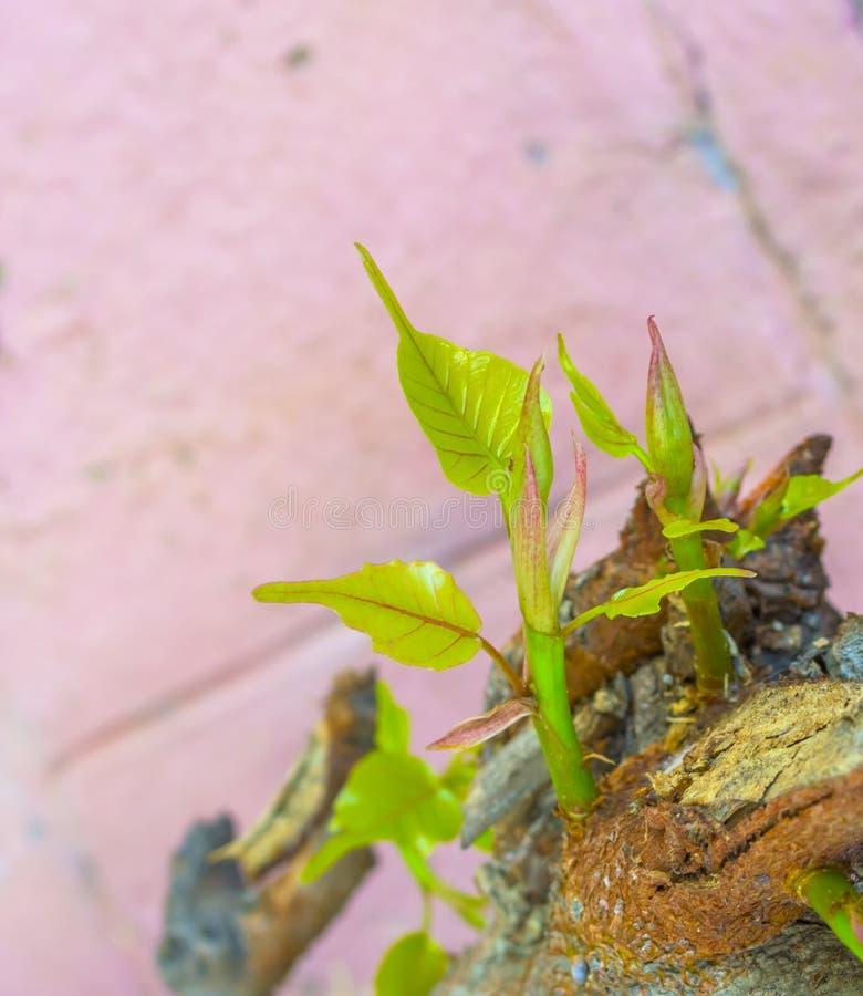 Neuer Triebbaum, der vom Stamm und vom rosa Farbhintergrund wächst stockfotografie