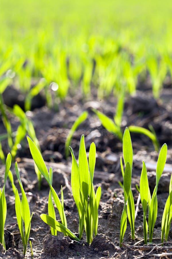 Neuer Weizen lizenzfreie stockfotografie