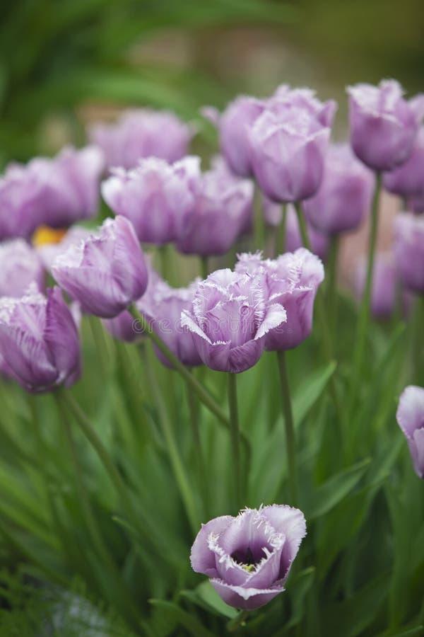 Neues Gen von Tulpen stockfotografie
