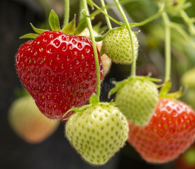 Neues geschmackvolles reifes Rot und unausgereifte grüne Erdbeeren, die auf Erdbeerbauernhof wachsen lizenzfreies stockfoto
