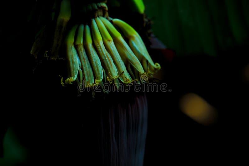 neues grünes Bananenfrucht Feld lizenzfreies stockbild