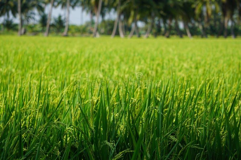 Neues grünes Reisfeld in Thailand stockfotos