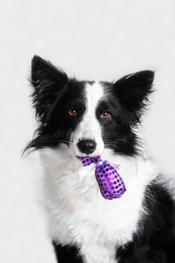Neues Jahr ` s Märchenporträt eines border collie-Hundes lizenzfreies stockbild