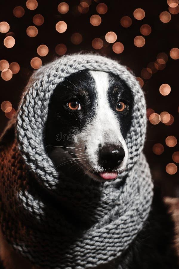 Neues Jahr ` s Märchenporträt eines border collie-Hundes stockfotografie