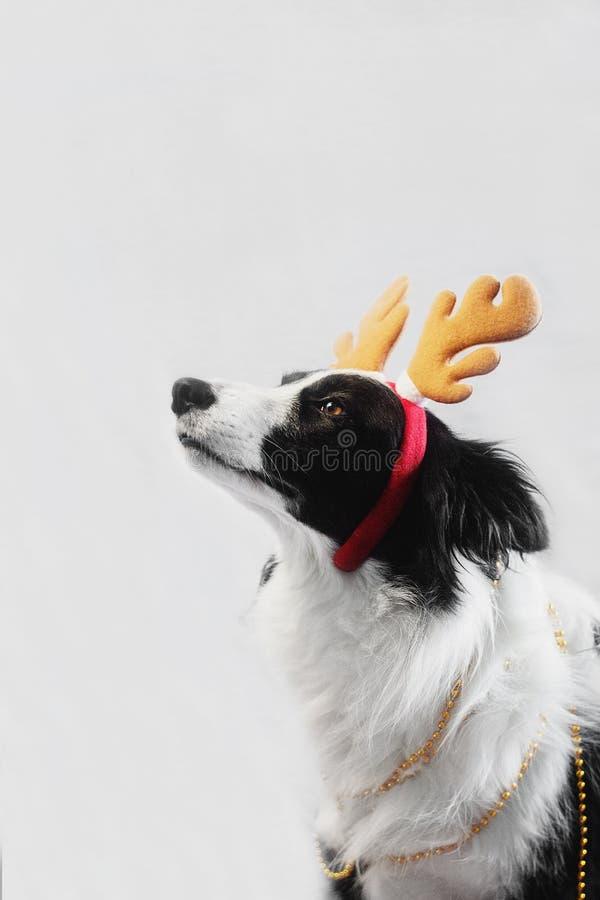 Neues Jahr ` s Märchenporträt eines border collie-Hundes lizenzfreie stockfotos