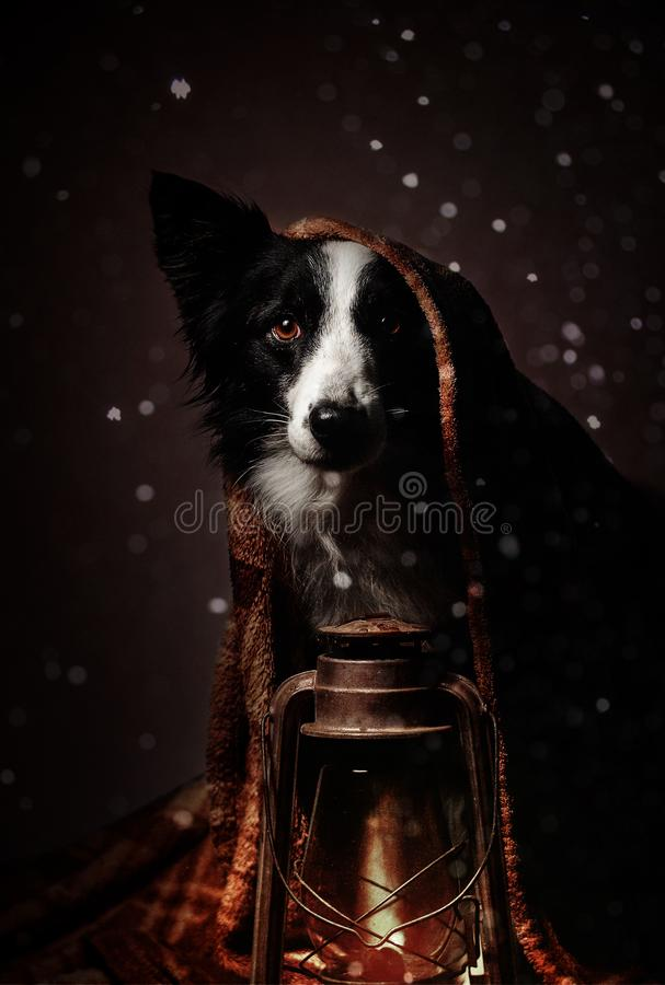Neues Jahr ` s Märchenporträt eines border collie-Hundes mit einer Lampe im Schnee lizenzfreies stockbild
