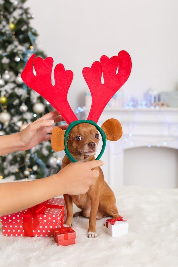Neues Jahr Verzierter Raum mit dem Hund beim Rotwildgeweihsitzen umgeben durch die Geschenke, die Kamera schauen stockfoto