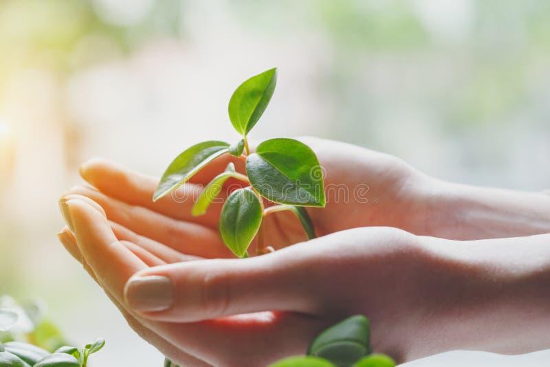 Neues Leben, Gr?npflanze in den H?nden der jungen Frau, Umweltschutz stockfoto
