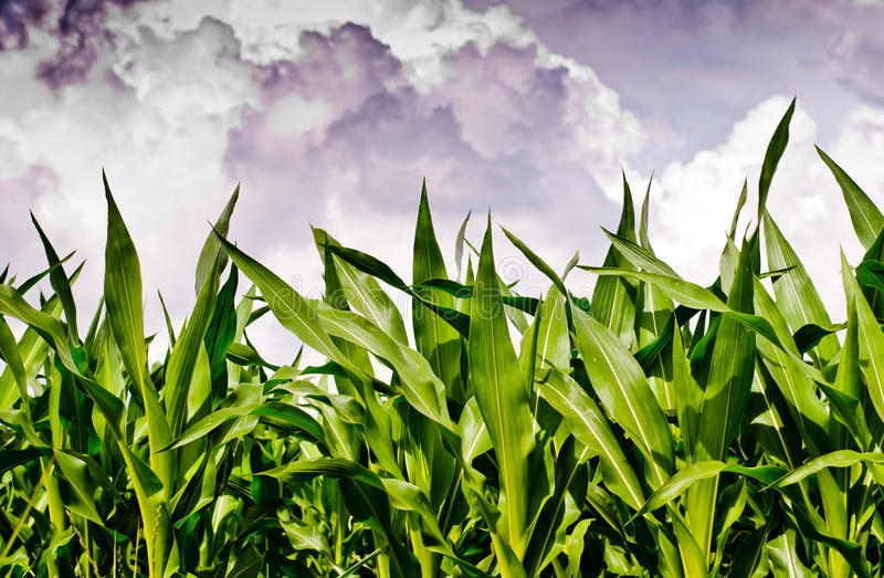 Neues Maisfeld unter stürmischem Himmel lizenzfreie stockfotos