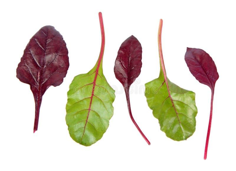 Neues Mangoldgemüsegrün und rote Blätter lokalisiert auf weißem Hintergrund stockbilder