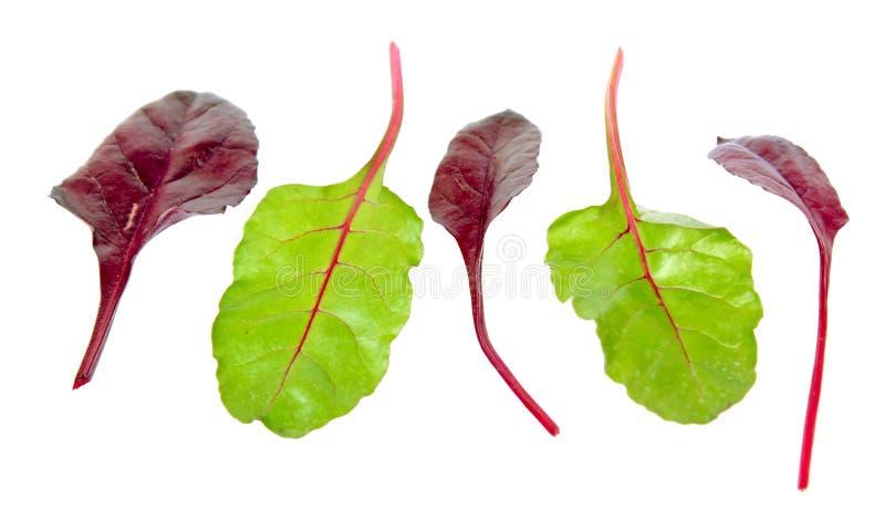 Neues Mangoldgemüsegrün und rote Blätter lokalisiert auf weißem Hintergrund lizenzfreie stockbilder