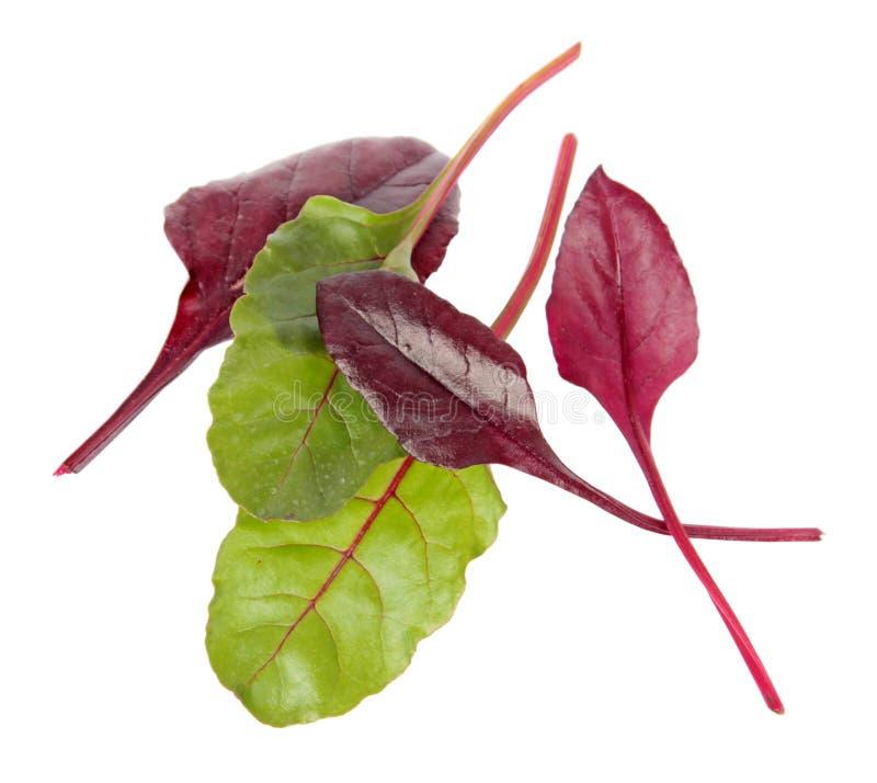 Neues Mangoldgemüsegrün und rote Blätter lokalisiert auf weißem Hintergrund stockfotografie
