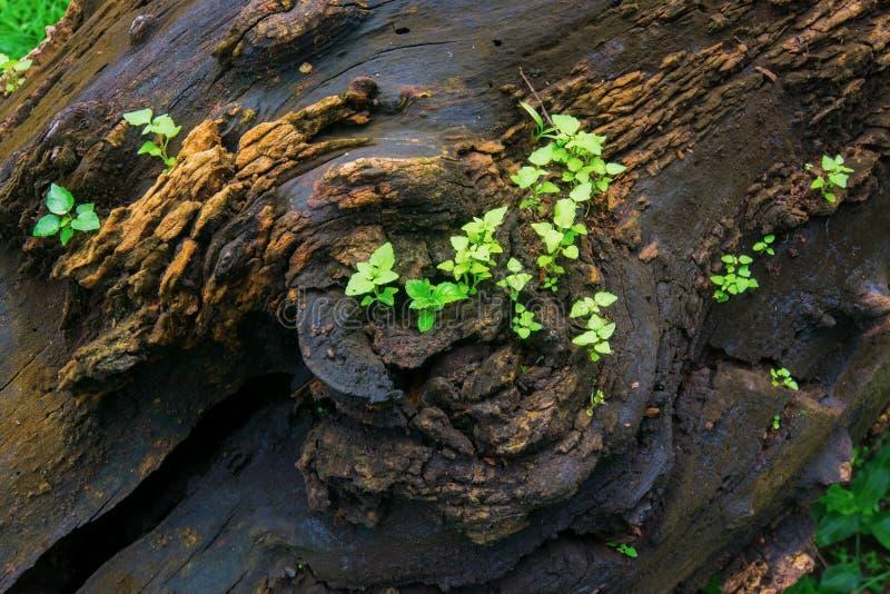 Neues Pflanzenwachstum auf altem Baumstamm lizenzfreie stockbilder