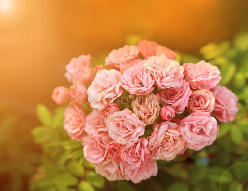 Neues rosa Rosenbündel mit Tautropfen des Morgengartens mit warmem Licht lizenzfreies stockfoto