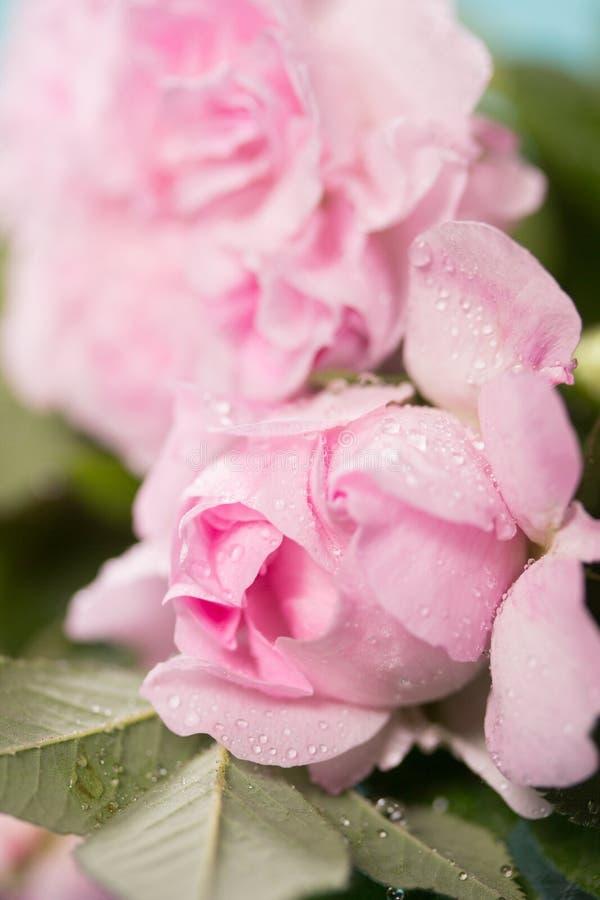 Neues Rosa stieg stockbilder