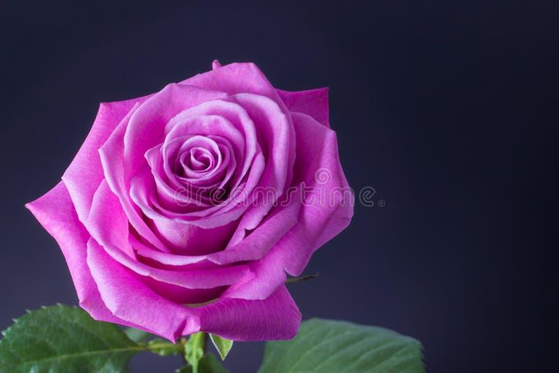 Neues Rosa stieg nah oben auf Blumenhintergrund des dunklen Hintergrundes stockfotografie