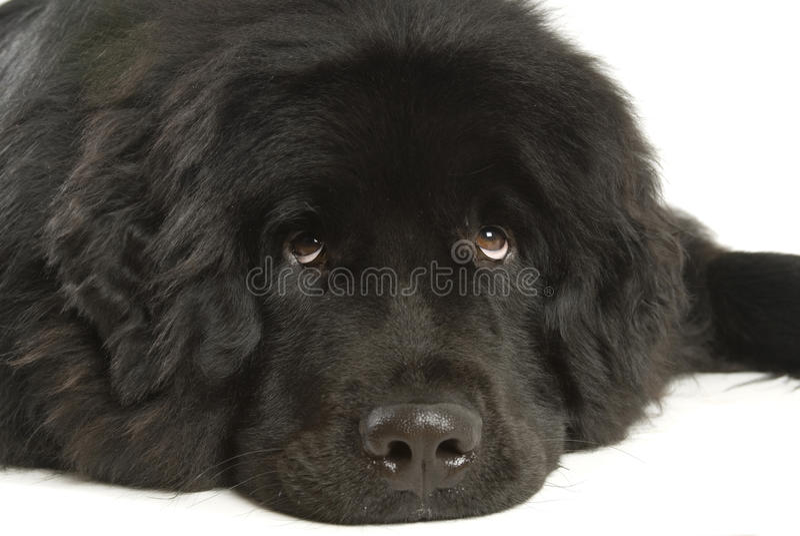 Neufundland-Hund stockfotografie