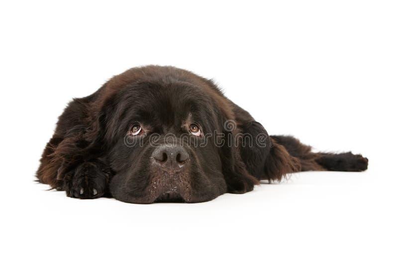 Neufundland-Hund niederlegend und auf Weiß getrennt lizenzfreie stockfotografie