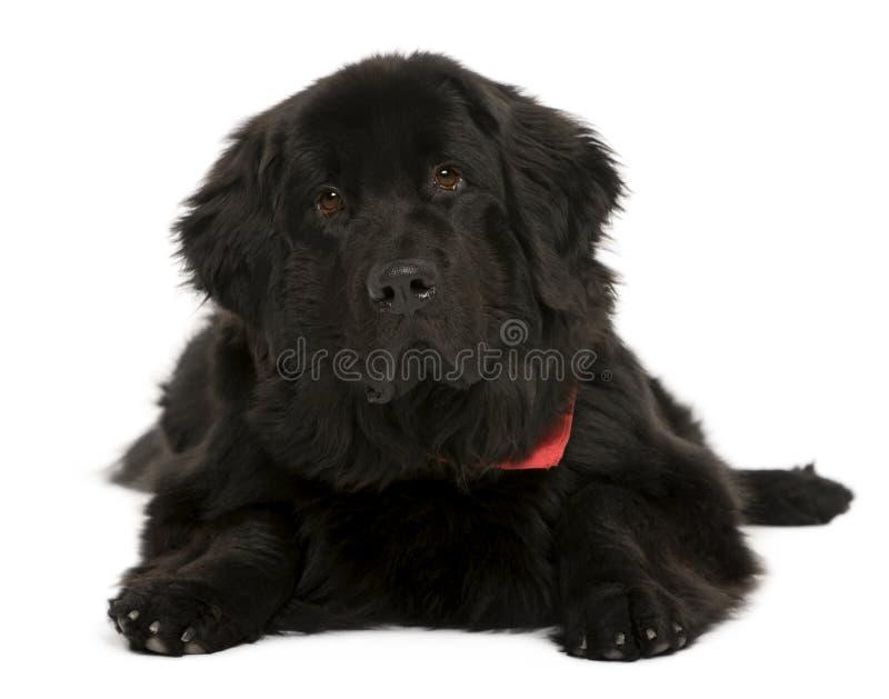 Neufundland-Hund, vor weißem Hintergrund stockbild