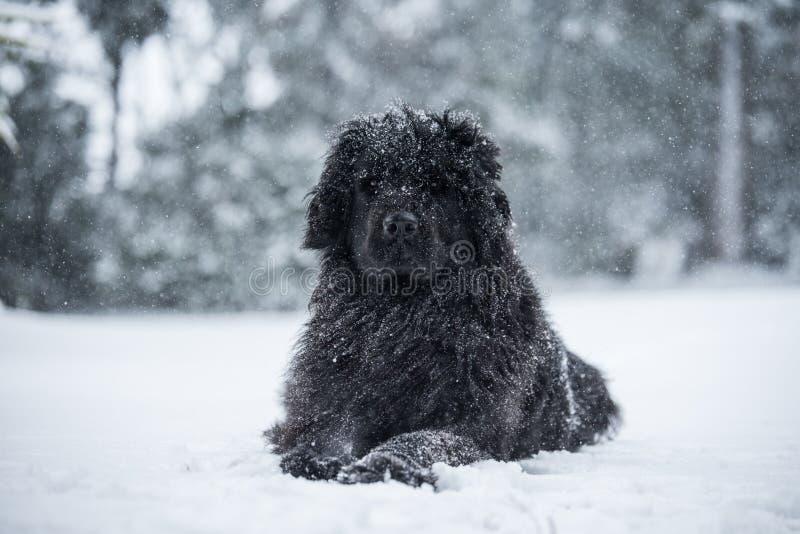 Neufundland-Hunde-Sankt-Weihnachtsnette Weihnachtsvalentinsgrußliebe stockfotos