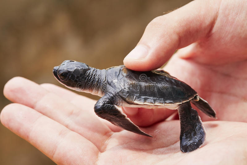 Neugeboren von der Schildkröte stockfoto