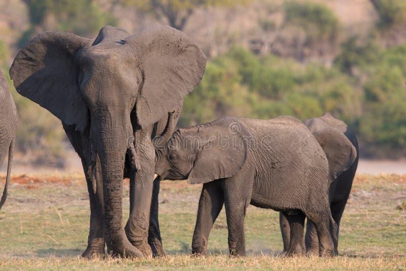 Neugeborene Fütterung des Elefanten auf Mutter lizenzfreie stockfotografie