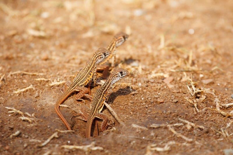 Neugeborene Schmetterlingseidechse stockfotografie