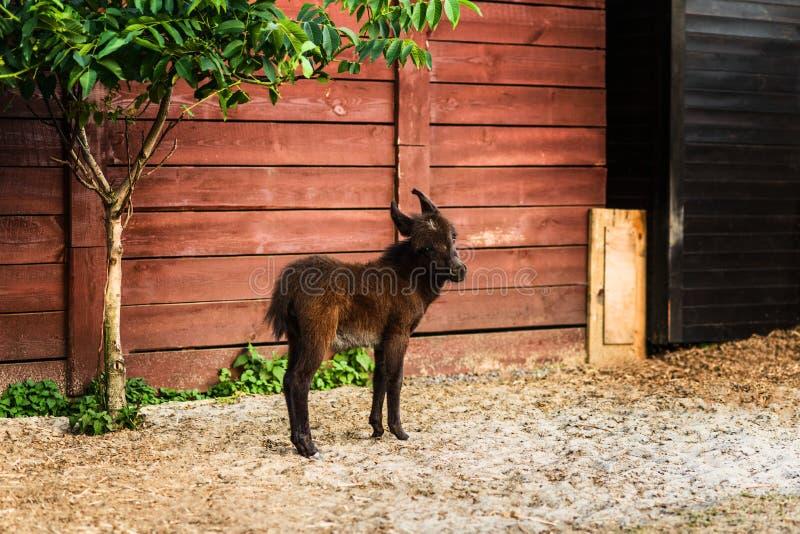 Neugeborener Esel auf Landwirtschaftsbauernhof, brauner Colt stockfoto