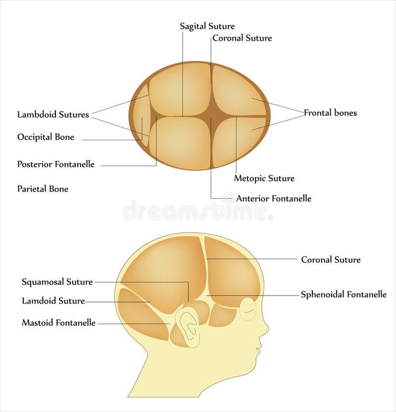 Neugeborener Schädel vektor abbildung. Illustration von menschlich ...