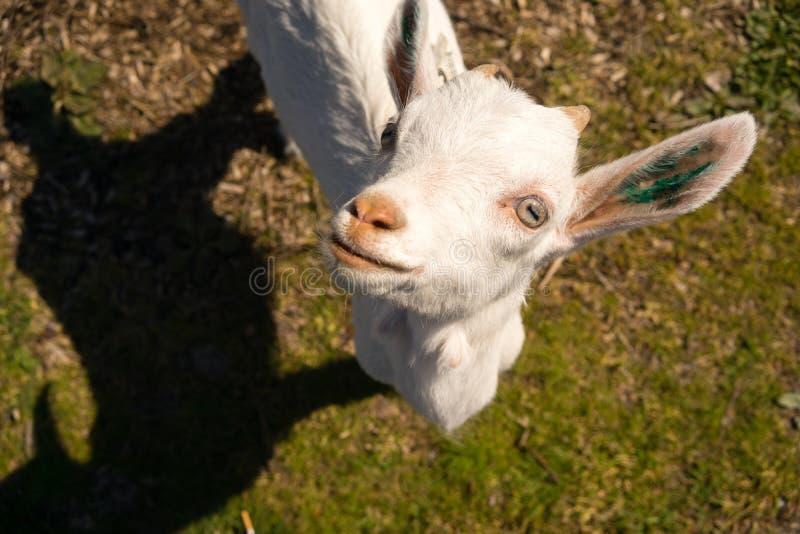 Neugeborener Tier-Albino Goat Explores Taking ein Bruch, zum oben zu betrachten stockbilder