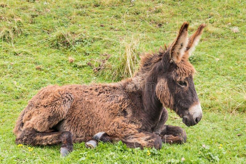 Neugeborenes braunes Eselfohlen, das auf Gras liegt stockfotos