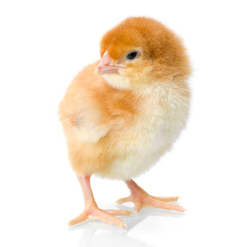Neugeborenes Huhn Browns auf reflektierendem Weiß stockfotos