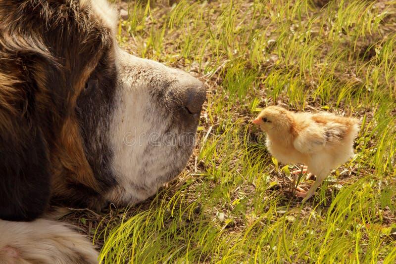 Neugeborenes Küken und großer Hund stockfotografie
